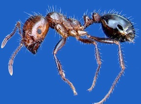 picture of fire ant